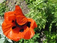 Poppy blossom