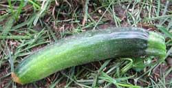 First zucchini