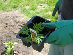 The planting of the marigold