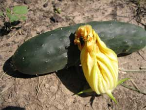 First cuke with squash blossom