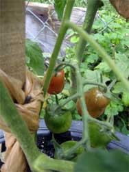 Cherry tomatoes ripening
