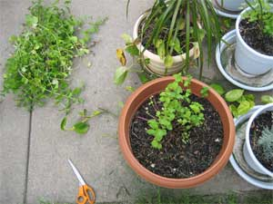 Mint after cutting