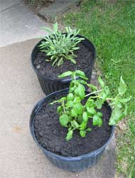 Sage and basil repotted