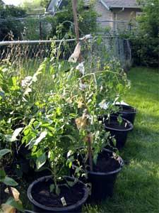 Transplanted garden