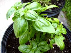 Basil, appearing healthy and fine