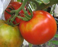 Tomatoes on August 7