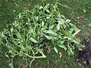Pepper plant pieces