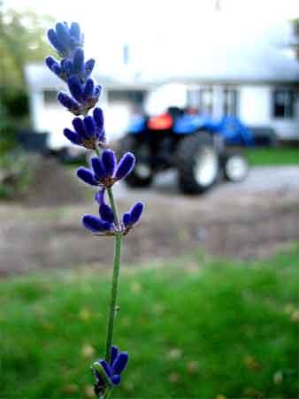 Last lavender blossom