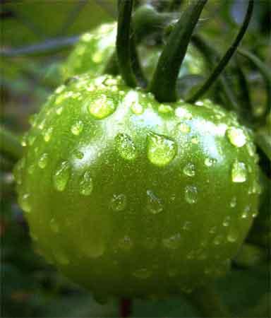 Rainy tomato