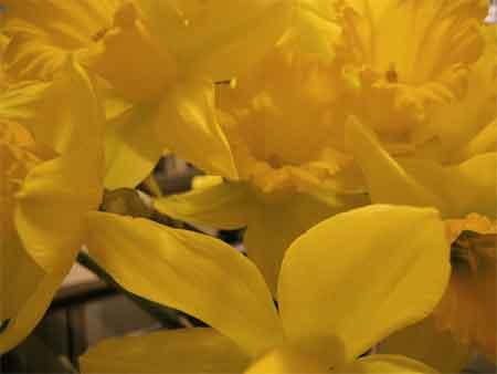 Daffodil riot