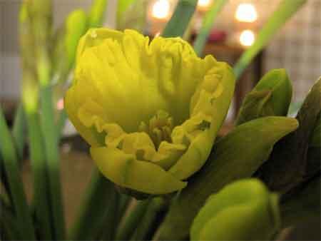 Pioneer daffodil