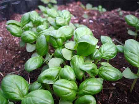 Crowd o' basil