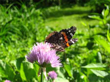 Butterfly on chive blossom