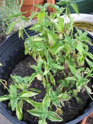 Dying basil