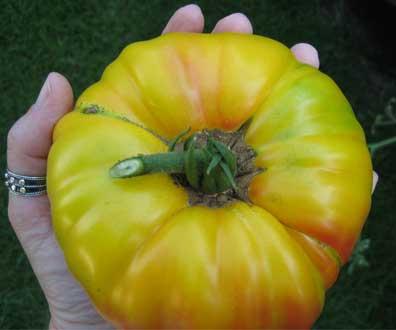 Giant Gold Medal tomato