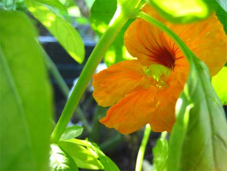 Nasturtium through basil