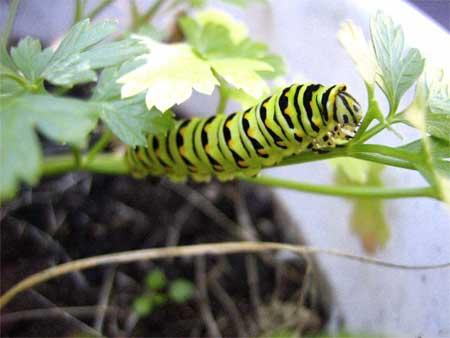 Parsley caterpillar