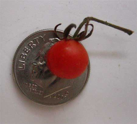 October's tiny tomato