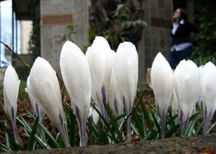 Oregon Crocuses