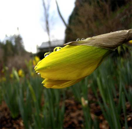 Dropleted daffodil
