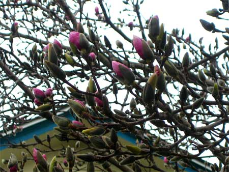 This year, the magnolia\'s blooming right on time...